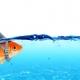 Goldfish meets shark